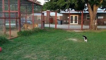 Il gatto sfida un leone: il proprietario del rifugio rimane allibito!