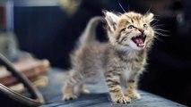 KÜÇÜK YAVRU KEDİ MİYAVLAMASI - Sevimli Kedi Derleme