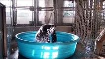 Ce que fait ce gorille dans son bain est fou... Trop drole
