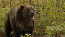 Yellowstone Grizzly Bears No Longer Endangered