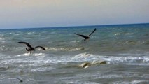 Seagulls Soar Above The Sea - 10073
