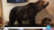 [Actualité] Yellowstone : les ours grizzly retirés de la liste des animaux protégés