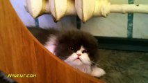 FUNNY ANIMALS ★ World's ANGRIEST CATS (HD) [Funny Pets]