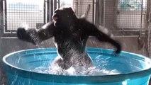 Ce gorille s'éclate dans une piscine et danse comme dans une comédie musicale