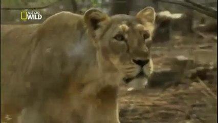 Índia Selvagem - O Reino dos Leões - Documentário - Dublado