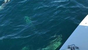 Dolphins in the Atlantic Ocean