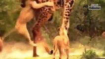 Giant Anaconda Attacks ►► Most Amazing Wild Animal Attacks Lion Giraffe Leopard Snake Tige