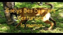 Chiots bergers Belges malinois élevage des derniers centurions .movie