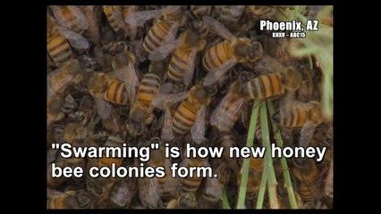 Honey Bees Swarm Season is Spring