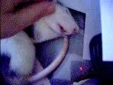 la sieste du petit rat calin