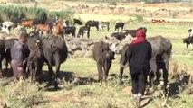 Gaziantep Sıcaktan Bunalan Mandalar Suda Serinliyor