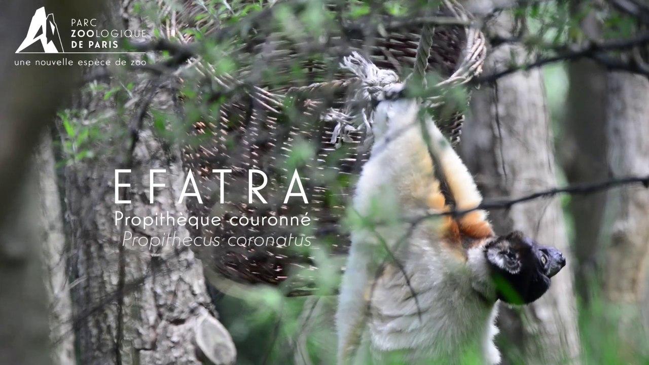 Efatra, Propithèque couronnée