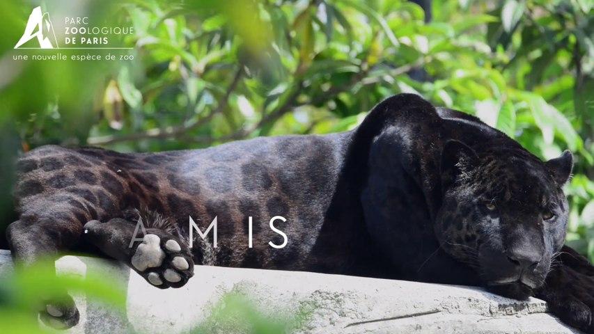 Aramis, Jaguar