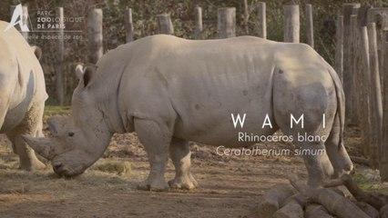 Cornes De Rhinoceros Pourquoi Le Trafic A Explose Parc Zoologique De Paris