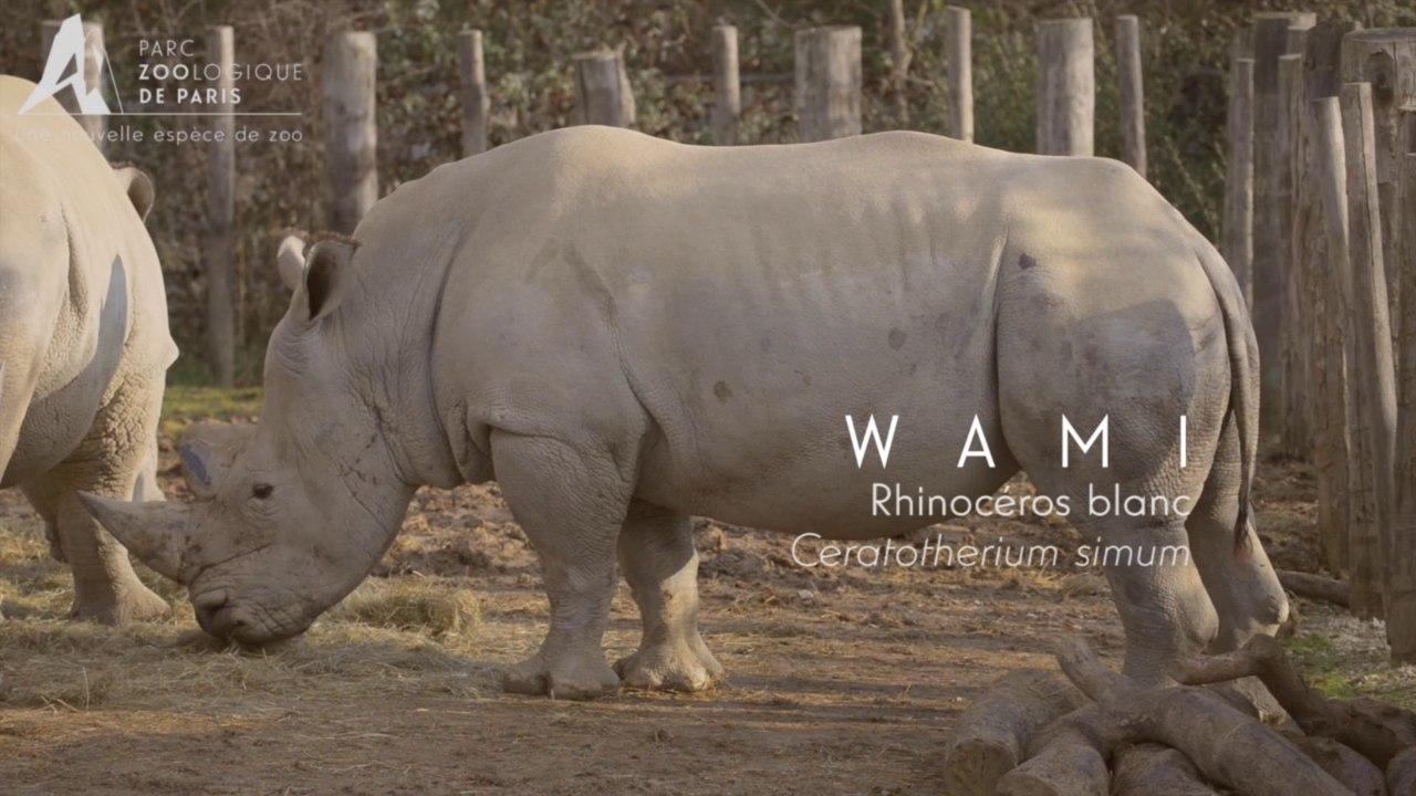 Wami, Rhinocéros blanc