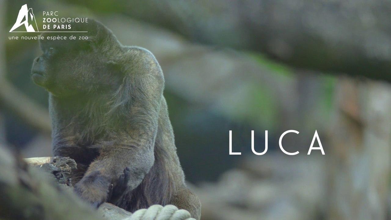 Luca, Singe laineux