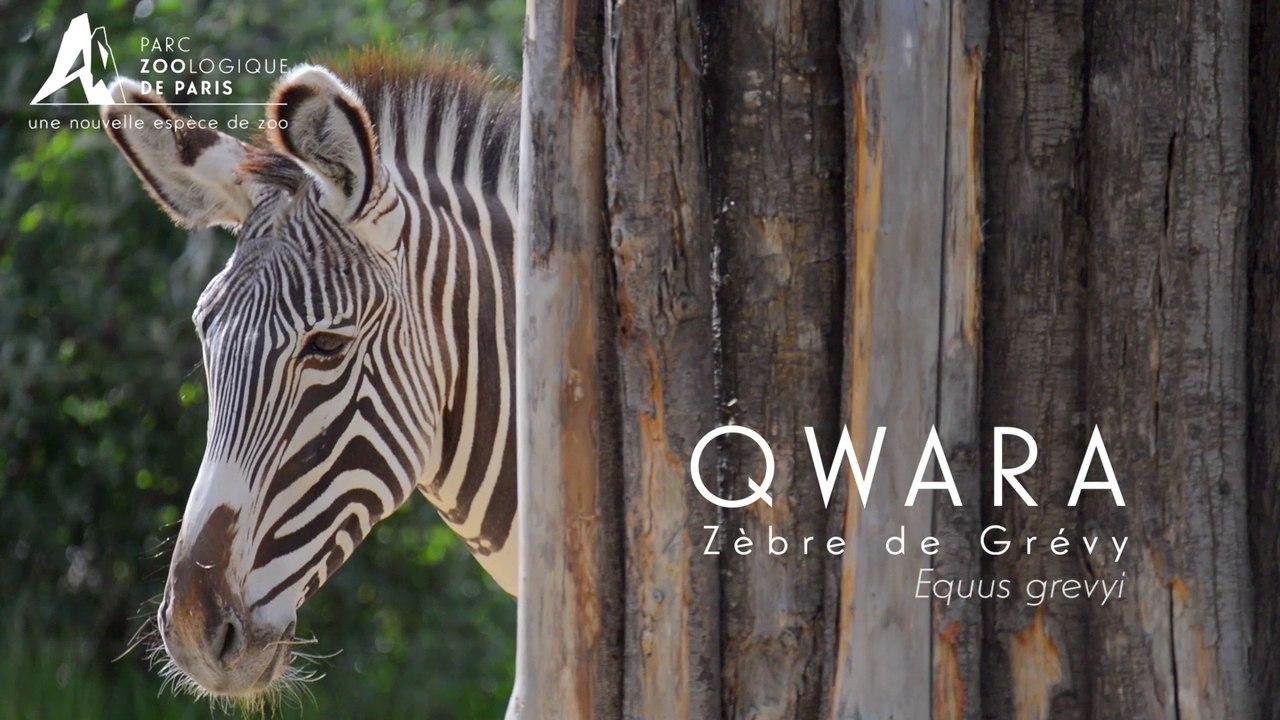 Qwara, Zèbres de Grévy
