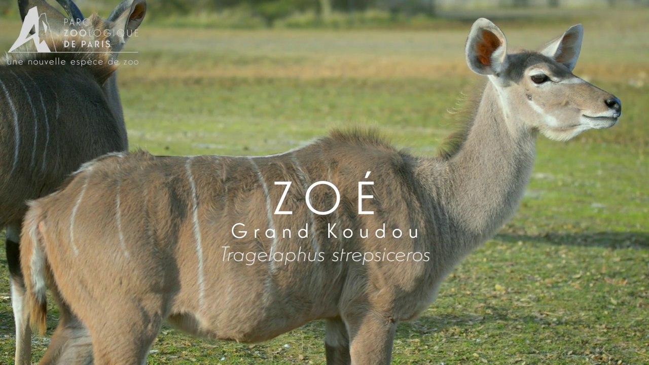 Zoé, Koudou