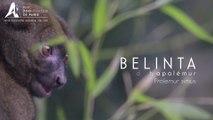 Belinta, Grand Hapalémur