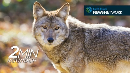 Elephants poached, wolf foster parents & an update on 'Spunky' the hawk