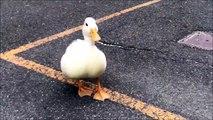 Ces canards adorables vont faire votre journée! Meilleur animal de compagnie