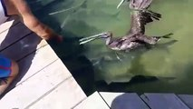 Ce pélican est bien décidé à piquer la bouffe des poissons... Malin l'animal