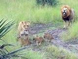 Des lionceaux font de leur mieux pour produire des rugissements comme leur papa !!