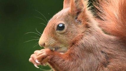 Un écureuil roux qui fait sa star !!