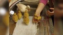 Ces poussins adorables vont prendre bain pour la premiere fois dans l'évier