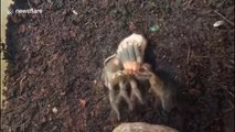 Mexican red knee Tarantula moulting
