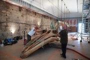 Bordeaux : la baleine du Muséum d'histoire naturelle est de retour