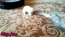Bebé gato gato gato su gatitos mamá negociaciones para