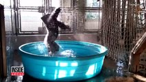 Watch Gorilla's Latest Dance Moves as He Makes a Splash in Kiddie Pool