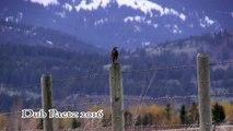 Western Meadowlark - Singing the Meadowlark Song in HD & High Quality Audio