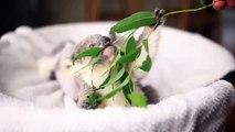 Trop mignon, ce bébé koala mange ses feuilles d'eucalyptus!