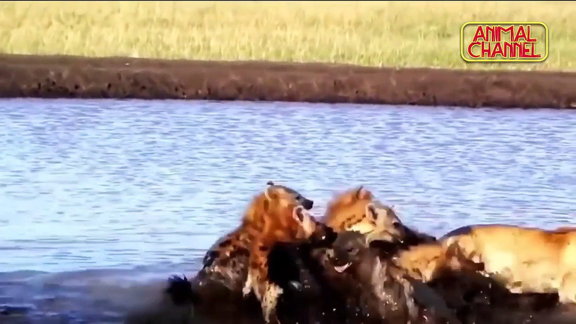 ANIMALS ATTACK - Top 10 Most Deadly Animals in Africa including Lions Hippos Hyenas Elephants
