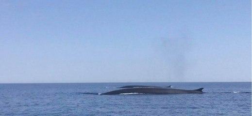 VIDÉO. Des baleines font le show dans le Cap Corse