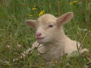 Les animaux de la ferme : Le mouton