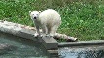 Série d'exercices pour Nanuq, l'oursonne du zoo de Mulhouse