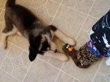 Avoir un Husky c'est le pied - Compilation d'animaux