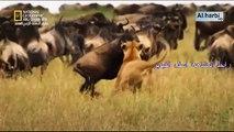 وثائقي قطيع الاسود .. الحكام في خطر ج2
