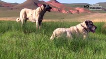 Extreme Trained & Disciplined KANGAL DOGS ►► Shepherd Dogs are Awesome Best Viral Videos E