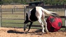 Ce cheval adore jouer avec ce ballon géant !