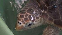 2 Deniz Kaplumbağası Doğal Yaşamına Geri Döndü
