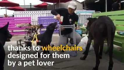 Taiwan's injured shelter dogs get to walk again
