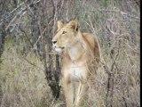 safari photo kenya réserve du Masai Mara