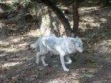 Loups 3 loups