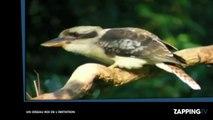 Un oiseau étonnant capable de reproduire les bruits d'un appareil photo et d'une tronçonneuse (vidéo)