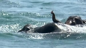 Elephants Swept Out To Sea Rescued By Sri Lankan Navy