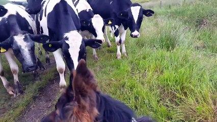 Ces vaches sont très intrigées par ce berger allemand !